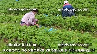 Работа за рубежом. Как проходит работа на ферме в Финляндия. Сбор клубники