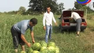 В республике начался сезон сбора арбузов